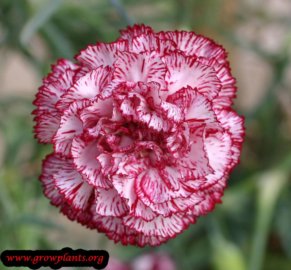 Growing Carnation In 2020 Carnation Plants Growing Carnations Plants