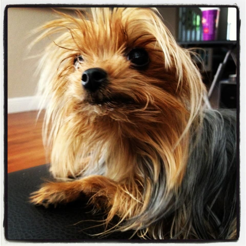 Lucy, my little Yorkie, a miracle dog whom we thought we