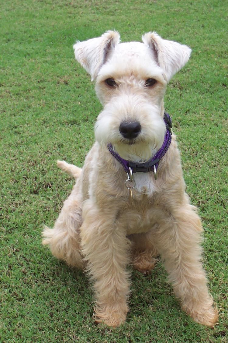 Lakeland Terrier Friendly Bold And Confident Lakeland Terrier