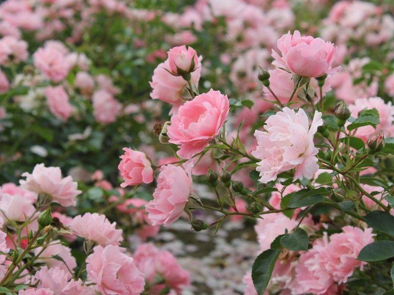 Bildresultat för ros sommerwind