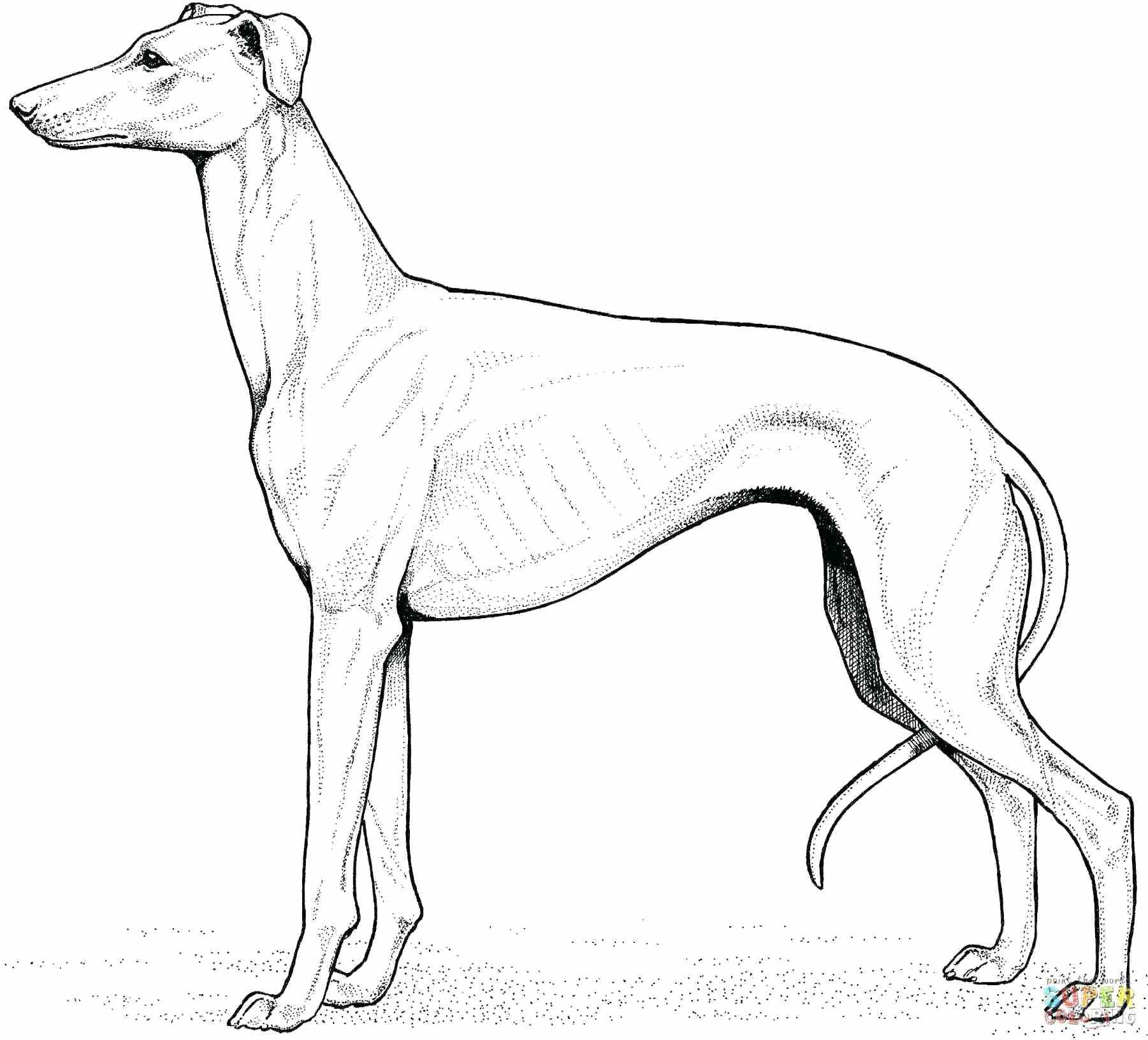 Golden Retriever Coloring Page Golden Retriever Drawing At Getdrawings Free For Personal Use Albanysinsanity Com Whippet Golden Retriever Drawing Greyhound Tattoo [ 1632 x 1801 Pixel ]