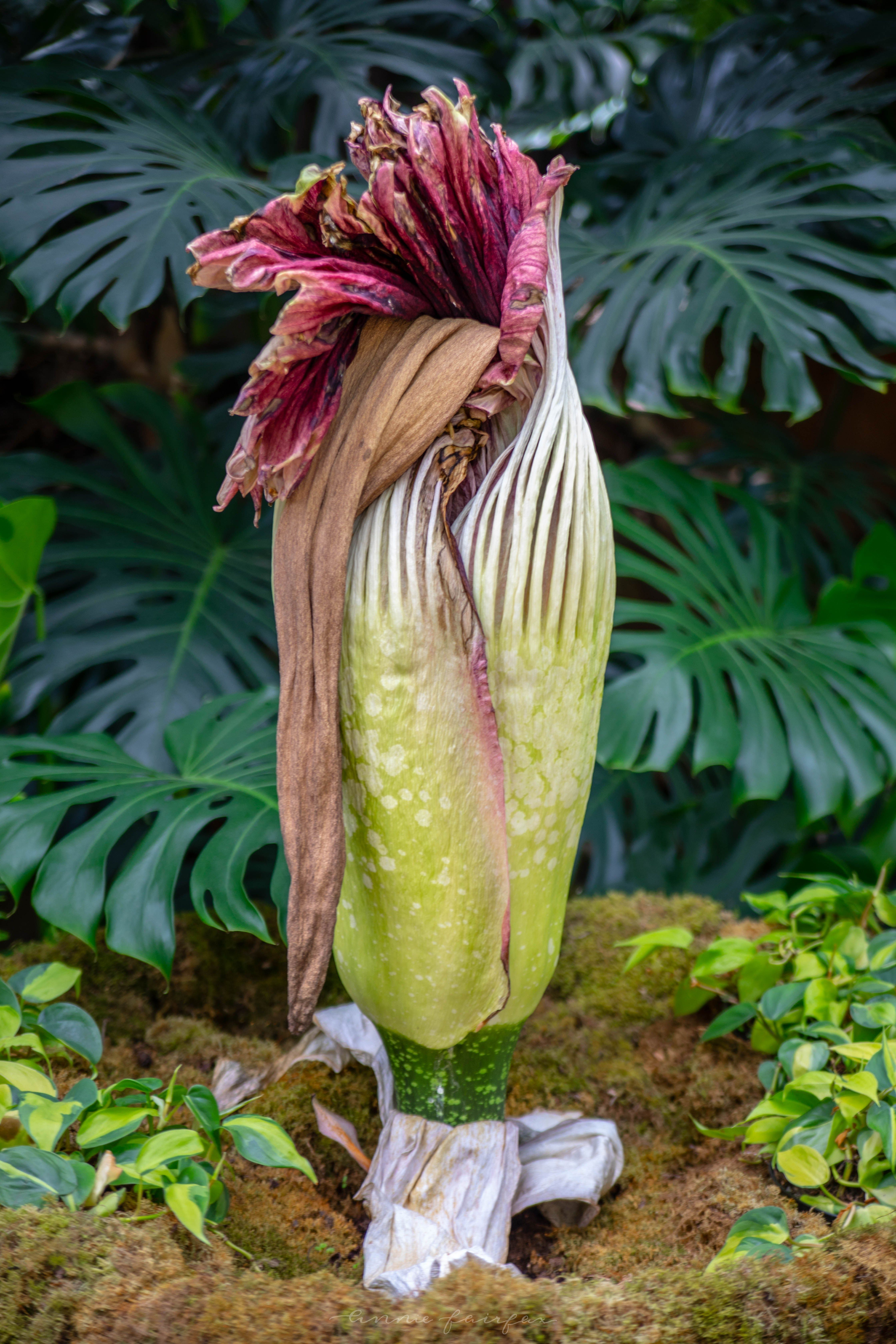 Corpse Flower Blooming At Frederik Meijer Gardens And Sculpture Park Vacation Inspiration Midwest Travel Travel Photographer
