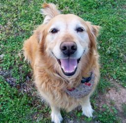 Adopt Brandy Tulsa On Golden Retriever Rescue Dogs Golden