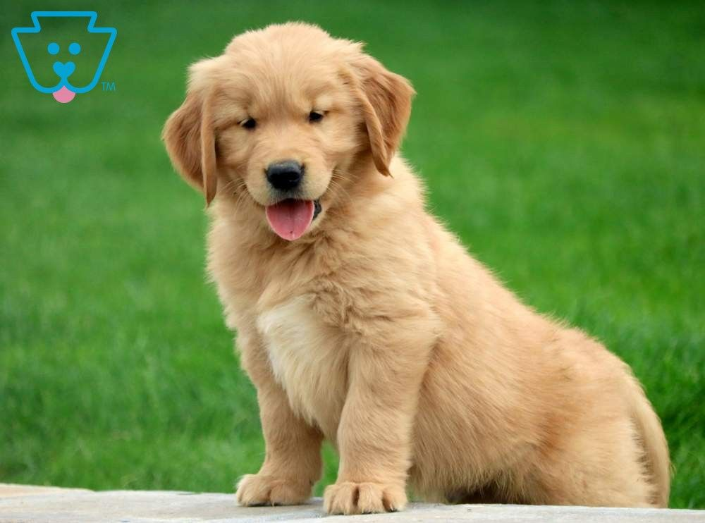 Lance Golden retriever, Puppies and kitties, Puppies for