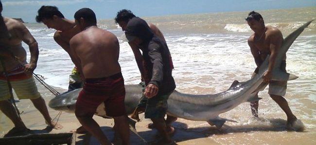 Dois tubarões Tigre foram capturados em praias de Prado