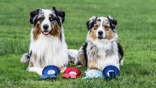 Would you jump at the chance to extend the life of your beloved dog? To discover how, go to http://lovedogs.from.media/go  Amazing dog tricks by australian shepherds Airin
