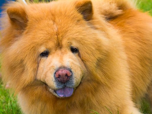 Chow Chow I Love These Dogs Dangerous Dogs Dogs Cute Animals