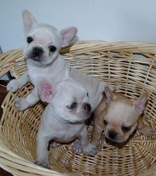 Free Classifieds Hoobly Classifieds Puppies French Bulldog