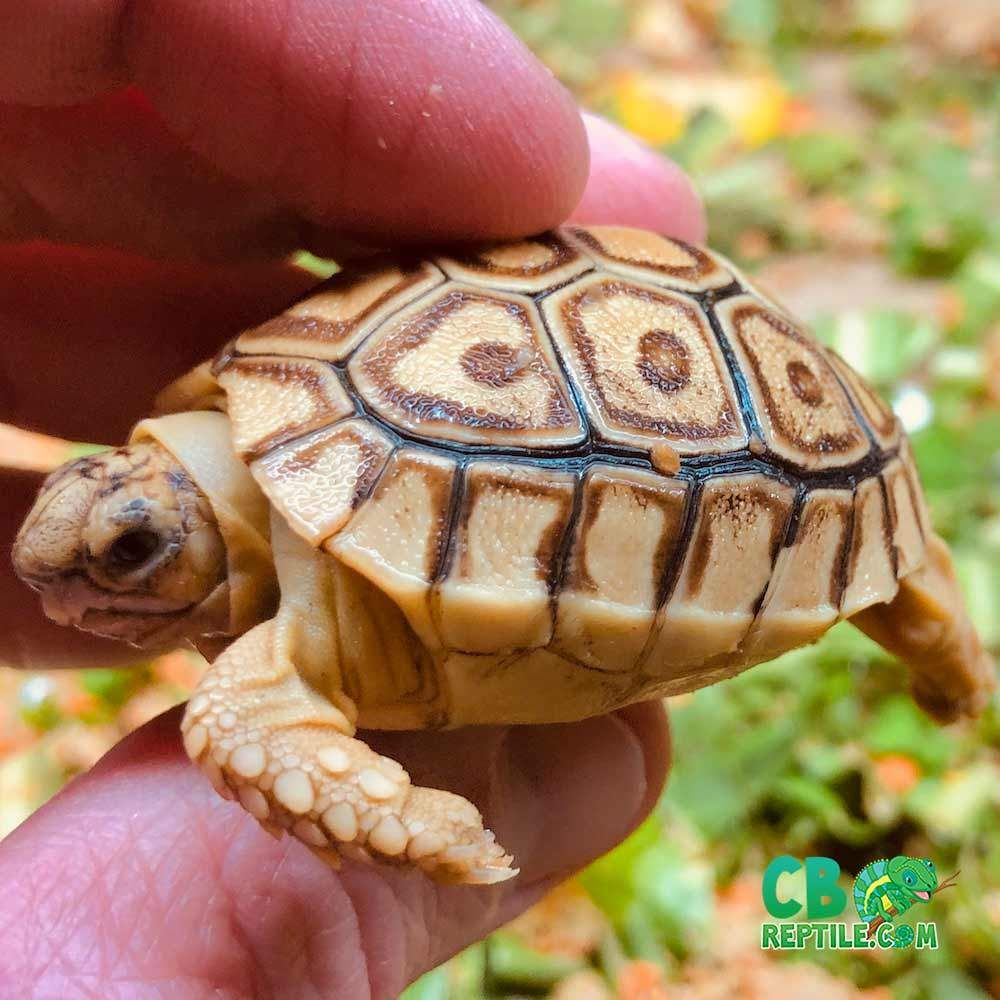 Tortoise for sale in 2020 Baby tortoise, Tortoise, Hatchling