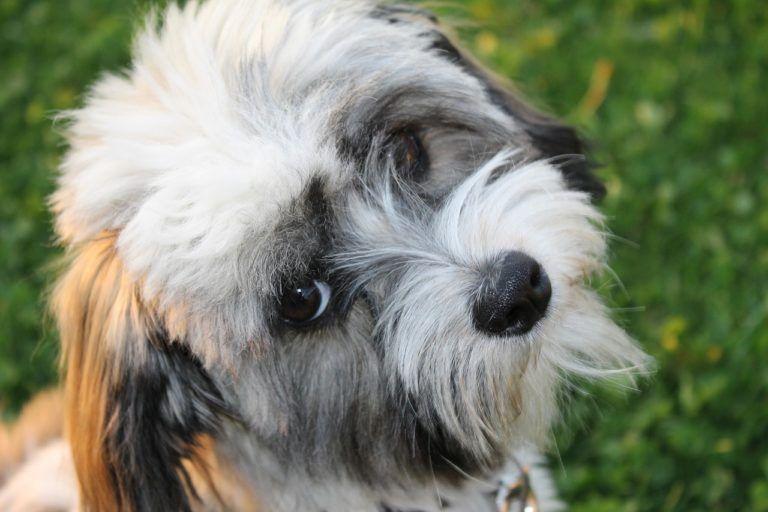 Fellpflege Beim Havaneser Havaneser Hund Havaneser Hunde Und