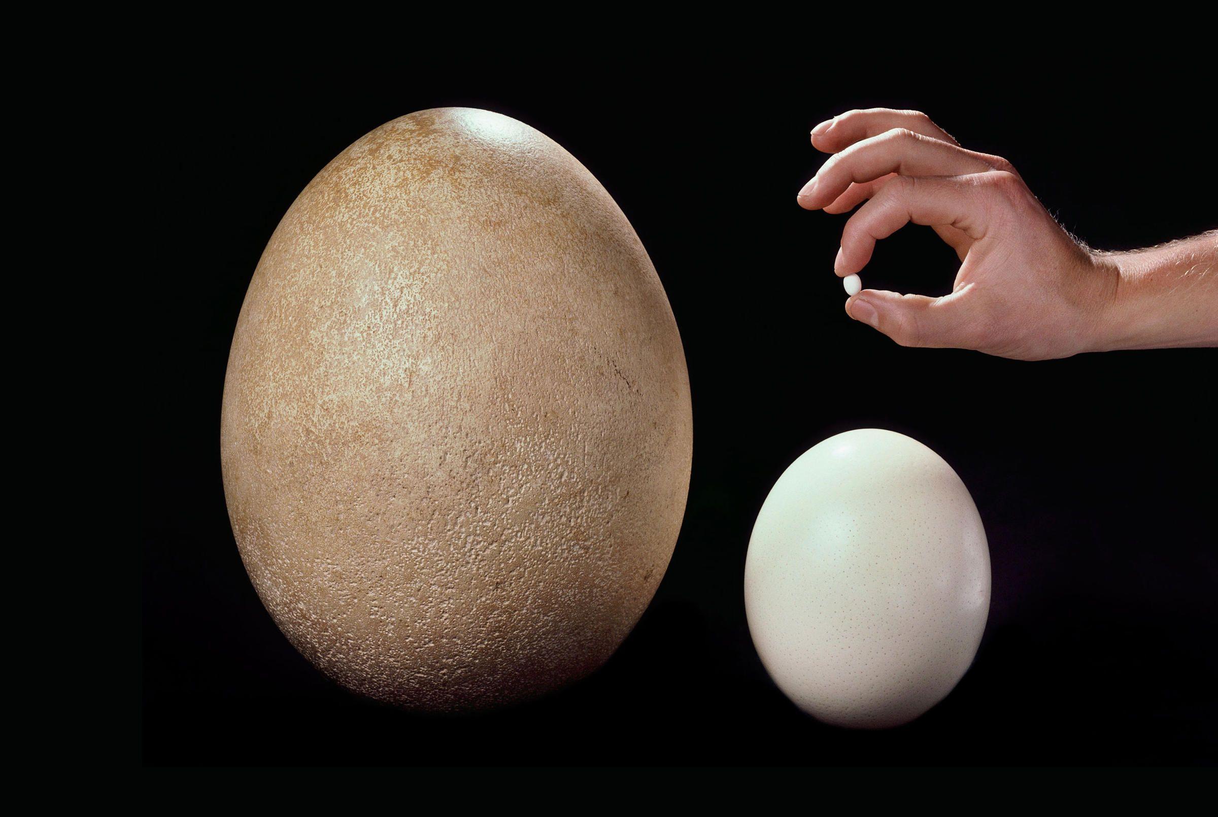 Kiwi egg vs ostrich egg - photo#3