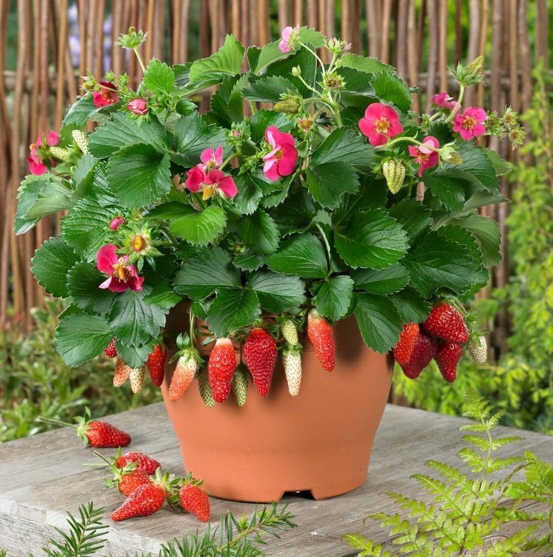 Berries Galore Rose 3 Plants In This Pot Strawberry Plants Growing Strawberries White Flower Farm