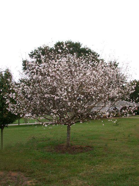 Prunus X Subhirtella Autumnalis Flowering Cherry Tree Gravel Garden Prunus