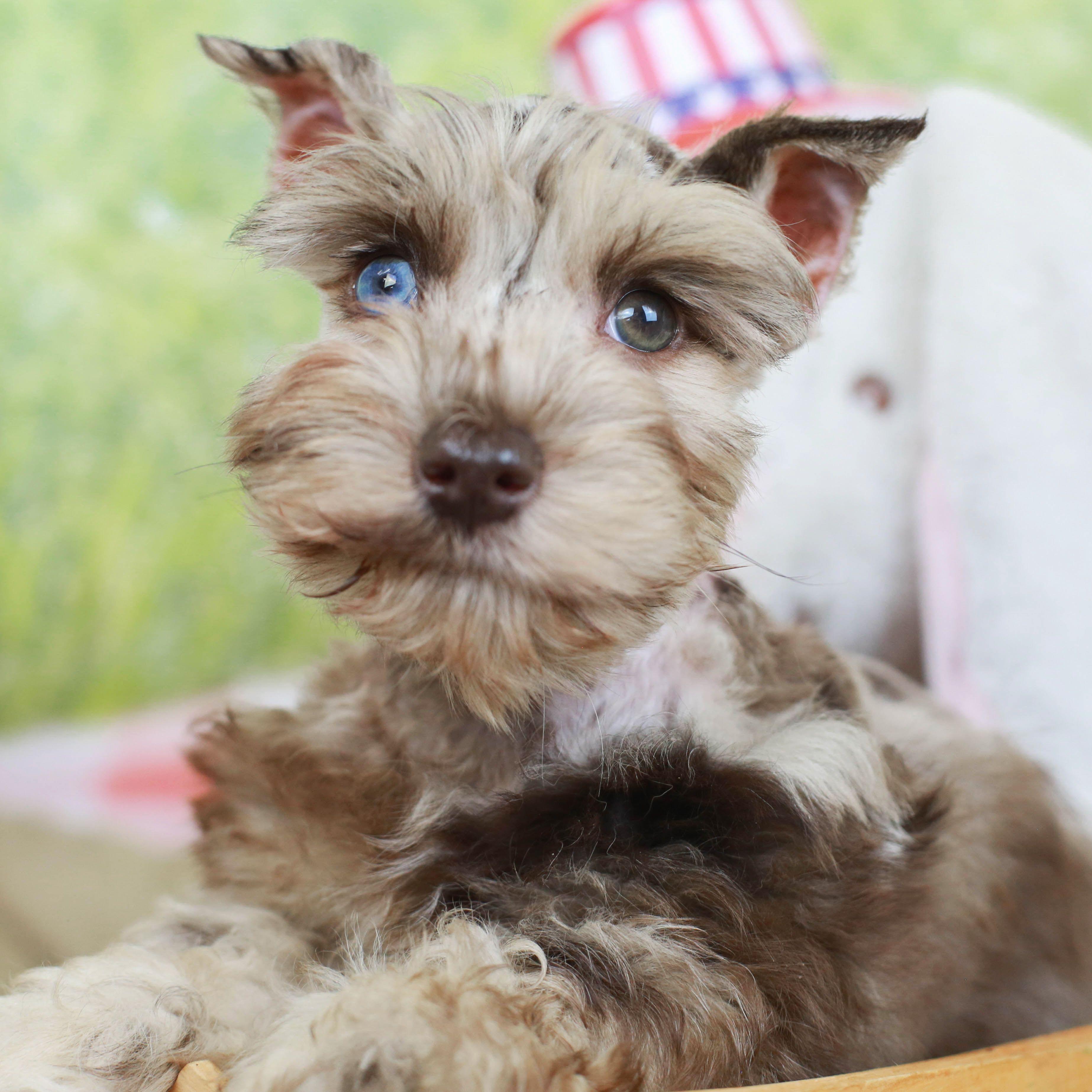 Confetti Schnauzer Puppy In 2020 Puppies For Sale Schnauzer Puppy Puppies