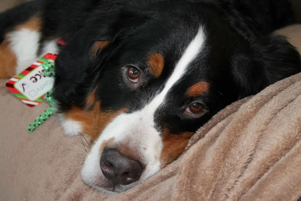 Mozart, Bernese Mountain Dog