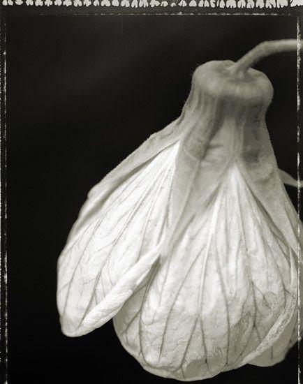 yama-bato:    CHARLES GROGG  Hibiscus 3 split-toned gelatin silver print 20x24