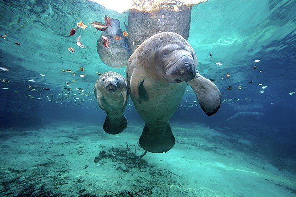 CANVAS A Manatee Swims in Shallow Water Art print POSTER