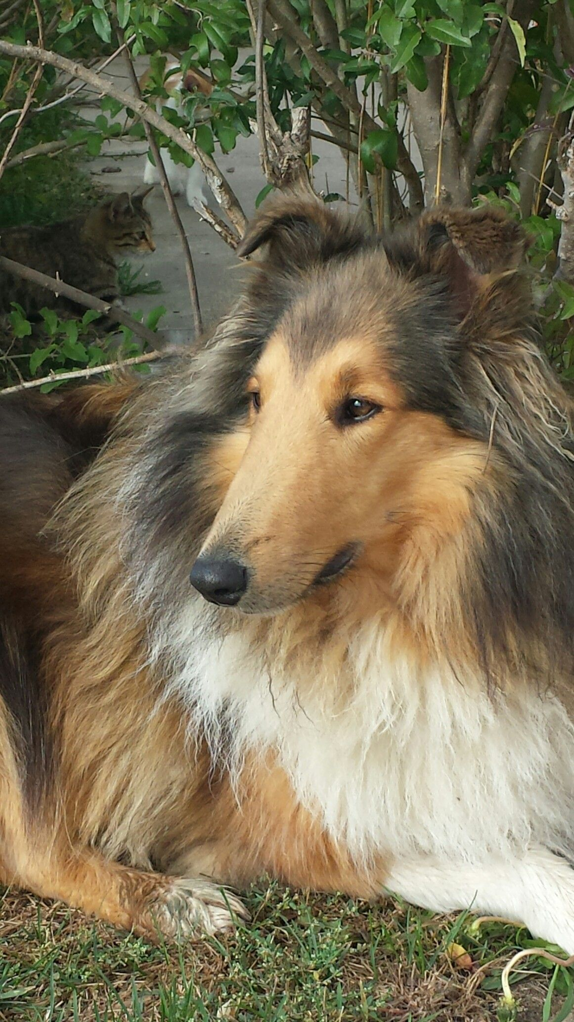 Fabulous Looking Rough Collie Taking A Rest Rough Collie