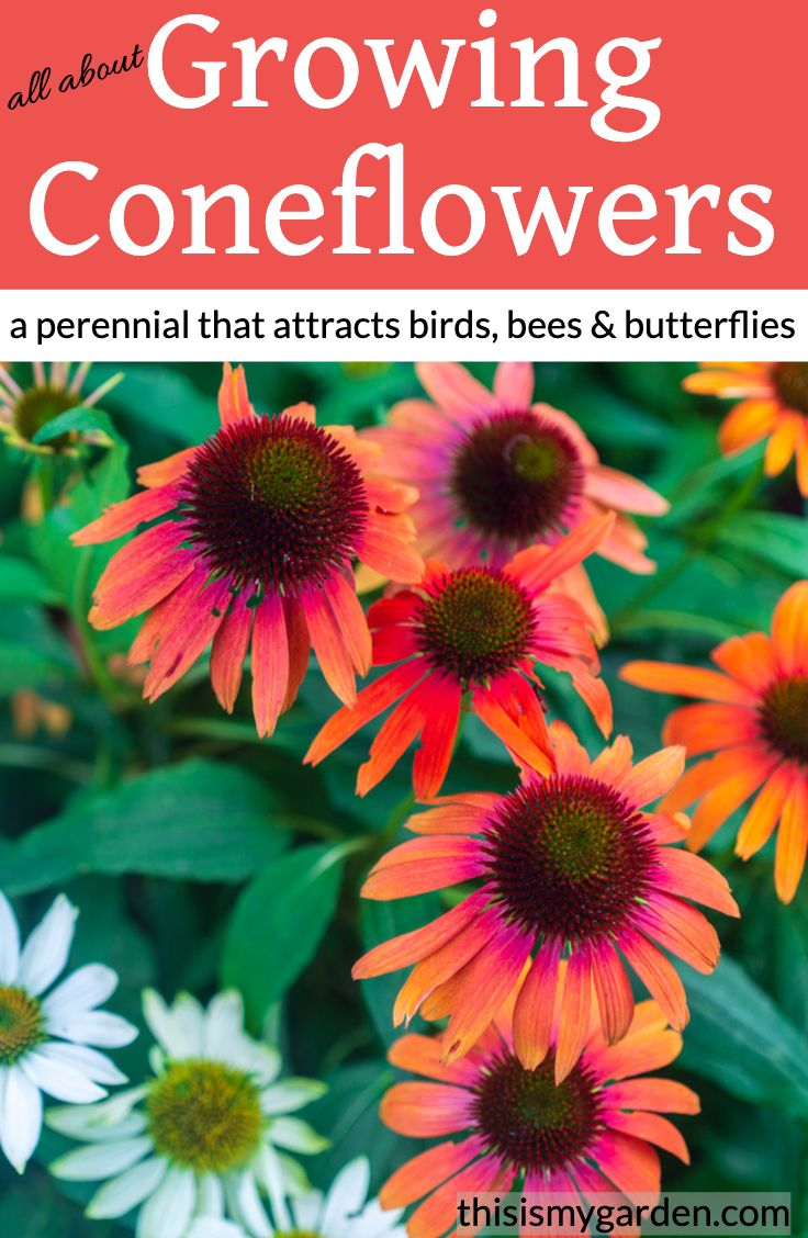 Growing Coneflowers In 2020 Flowers Perennials Outdoor Flowers Perennials