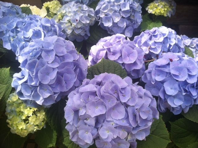 Hydrangeas In Full Bloom Sickles Market Greenhouse Inspirational Blooms Pinterest Hydrangea And Flowers