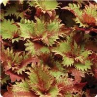 Henna Coleus From Simply Beautiful Plants Bedding Plants