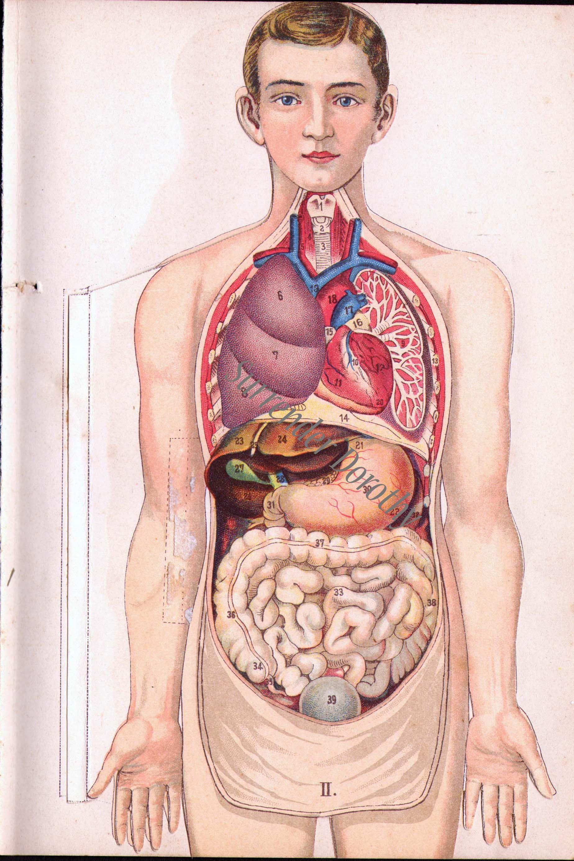 Fold-out anatomy man chart 1918 | Vintage Anatomy | Pinterest | Anatomy