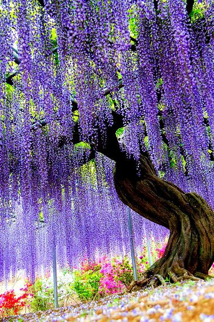 Japan Tochigi Ashikaga Flower Park Wisteria Beautiful Gardens Beautiful Tree Nature