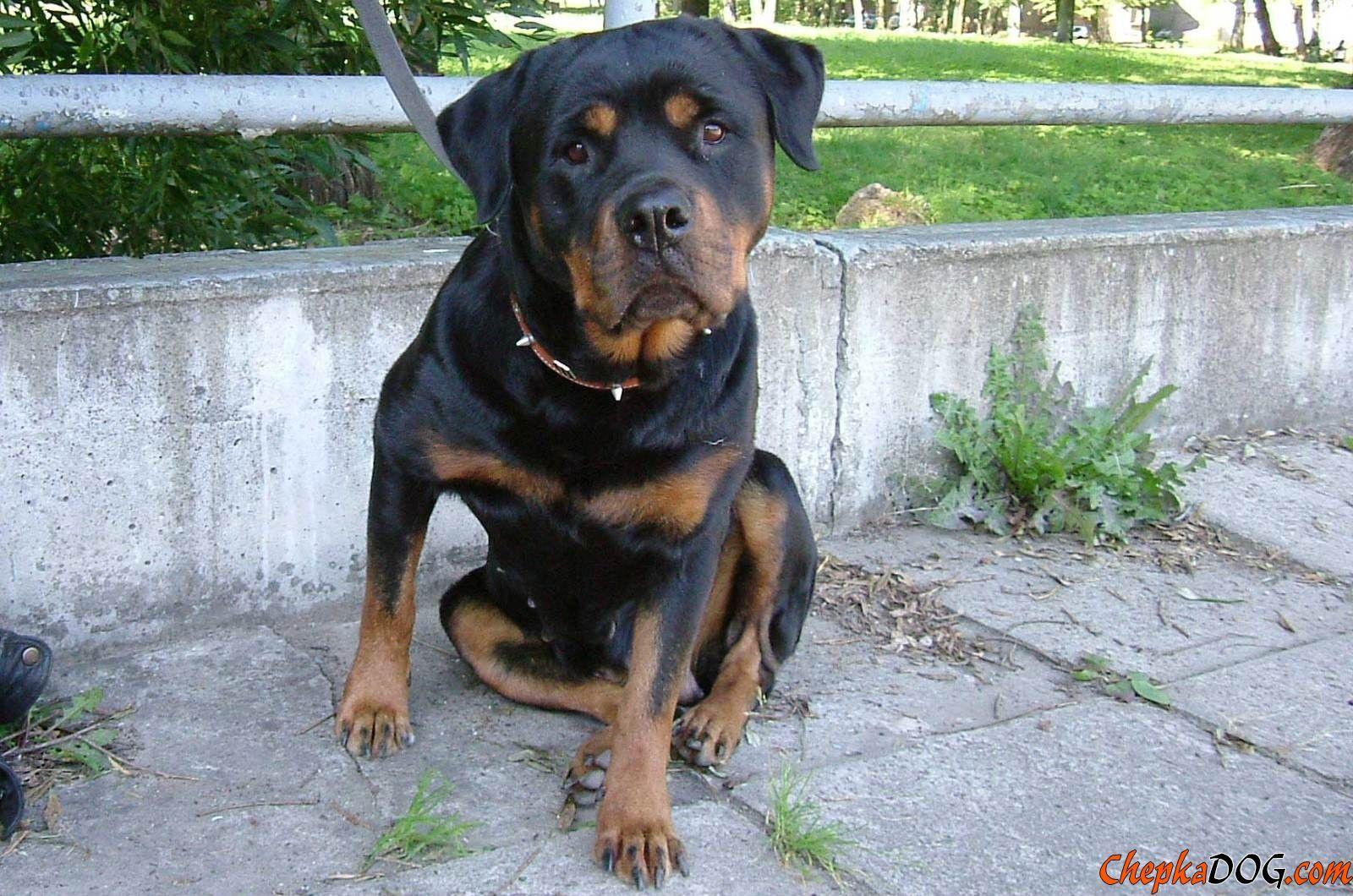 Surveillance Photo De Chien De Rottweiler | Coloring Pages | Must ...