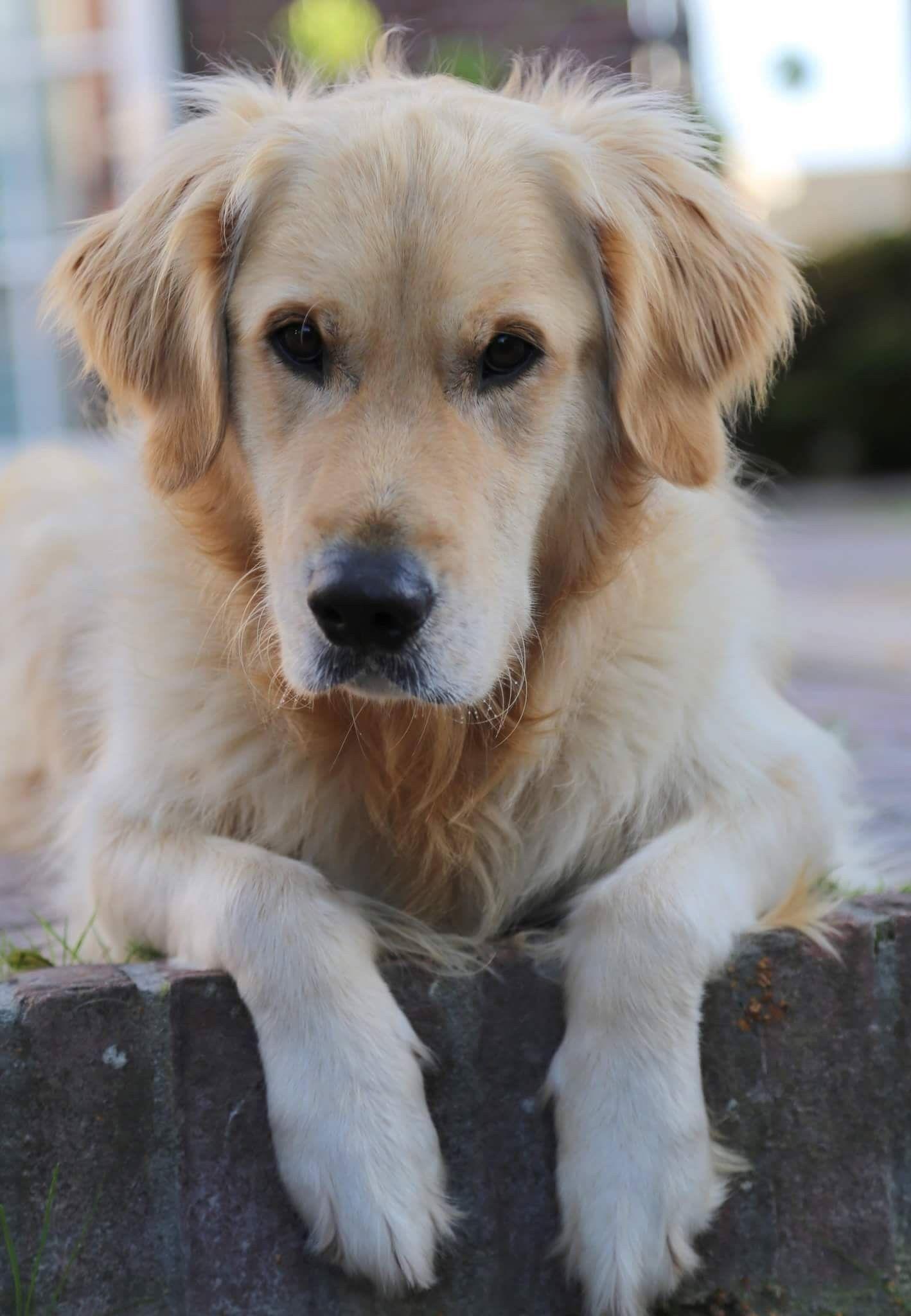 Pin By Corne Snoek On Golden Love Dogs Golden Retriever Animals