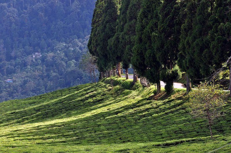 On a late afternoon at a Tea Garden Tea garden, Sikkim
