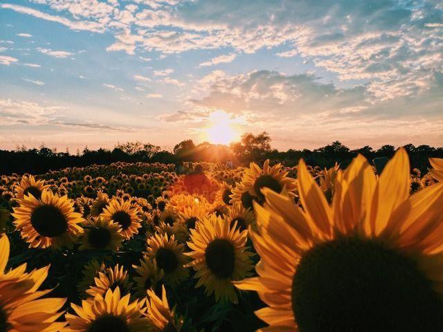 Sunflowers desktop wallpaper