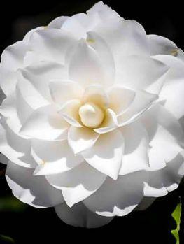 Kanjiro Camellia Camellia Buy Plants Online Beautiful Flowers