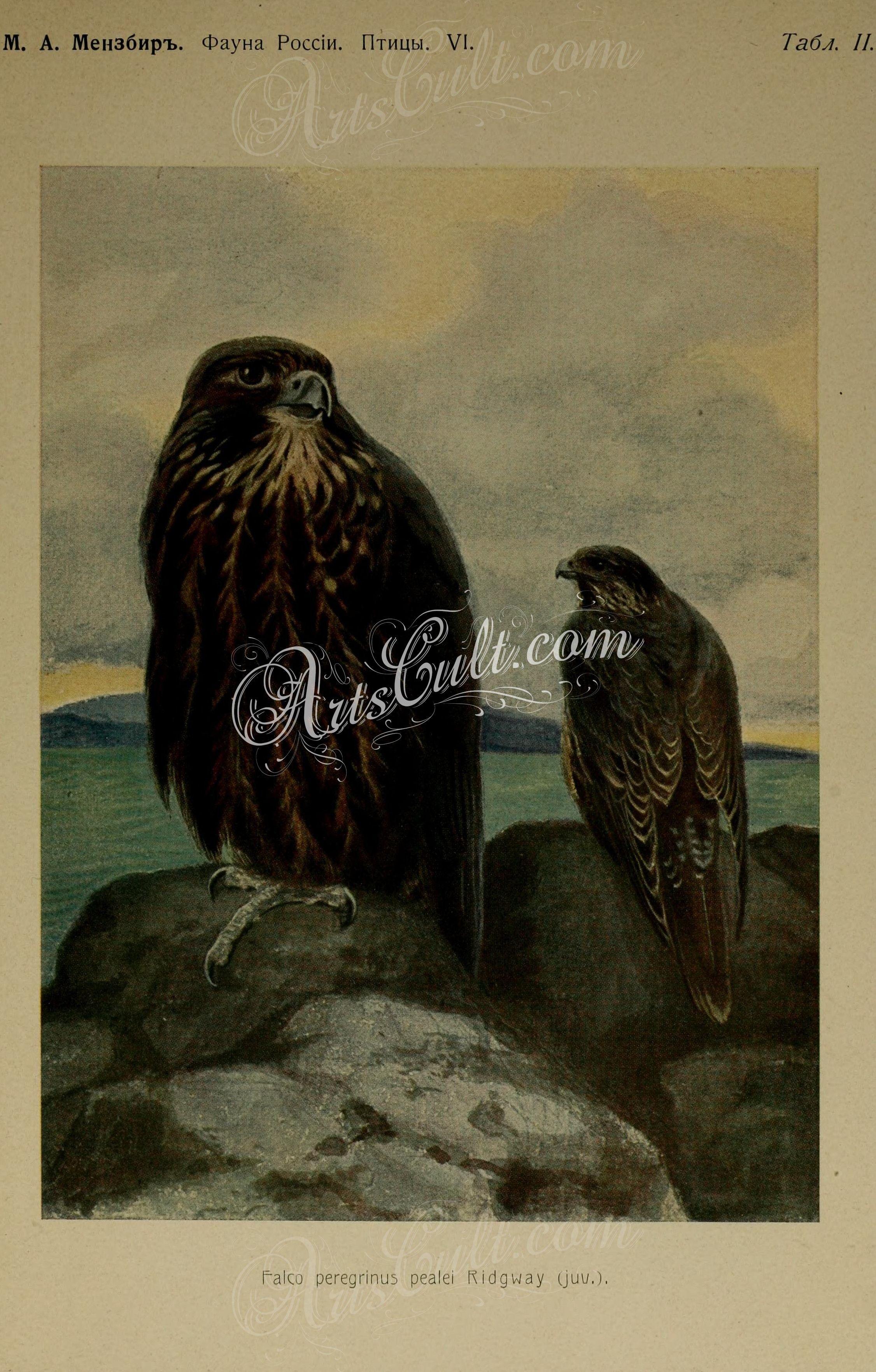 Birds Peregrine Falcon ArtsCult Artscult ArtsCult