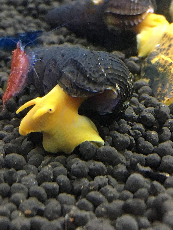 Awesome Aquatics 5 Orange Poso Sulawesi Rabbit Snails