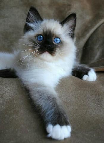 Pin By Cat Lovers Only Com On Cats Big Small Best Cat Breeds Ragdoll Cat Breeders Cute Cats