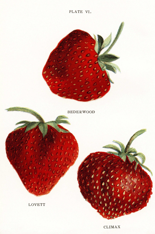 OldDesignShop_1911BiggleStrawberries1.jpg (1752×2643)