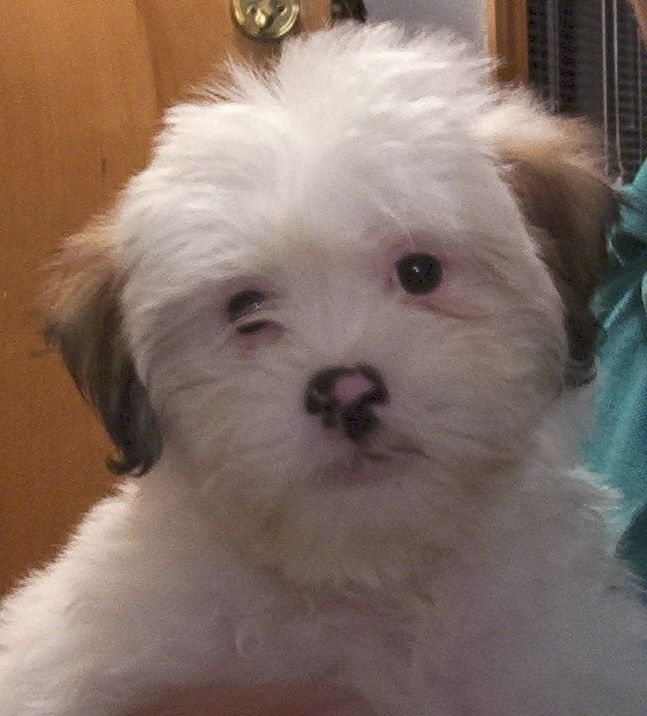 Lhasa Apso Lhasa Apso Baby Dogs Animal Faces