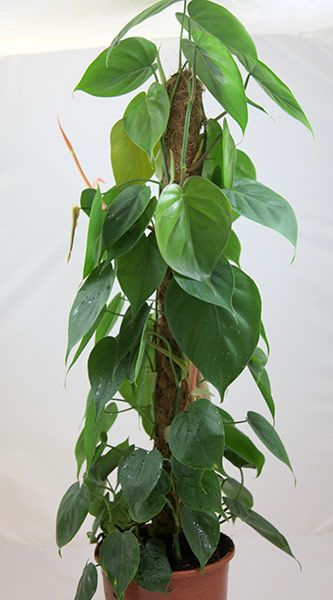 Indoor: needs misting in lounge. heart-leaf Philodendron ...