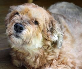 Coco Koekoe In Ct Havanese Dogs Rescue Dogs Dog Adoption