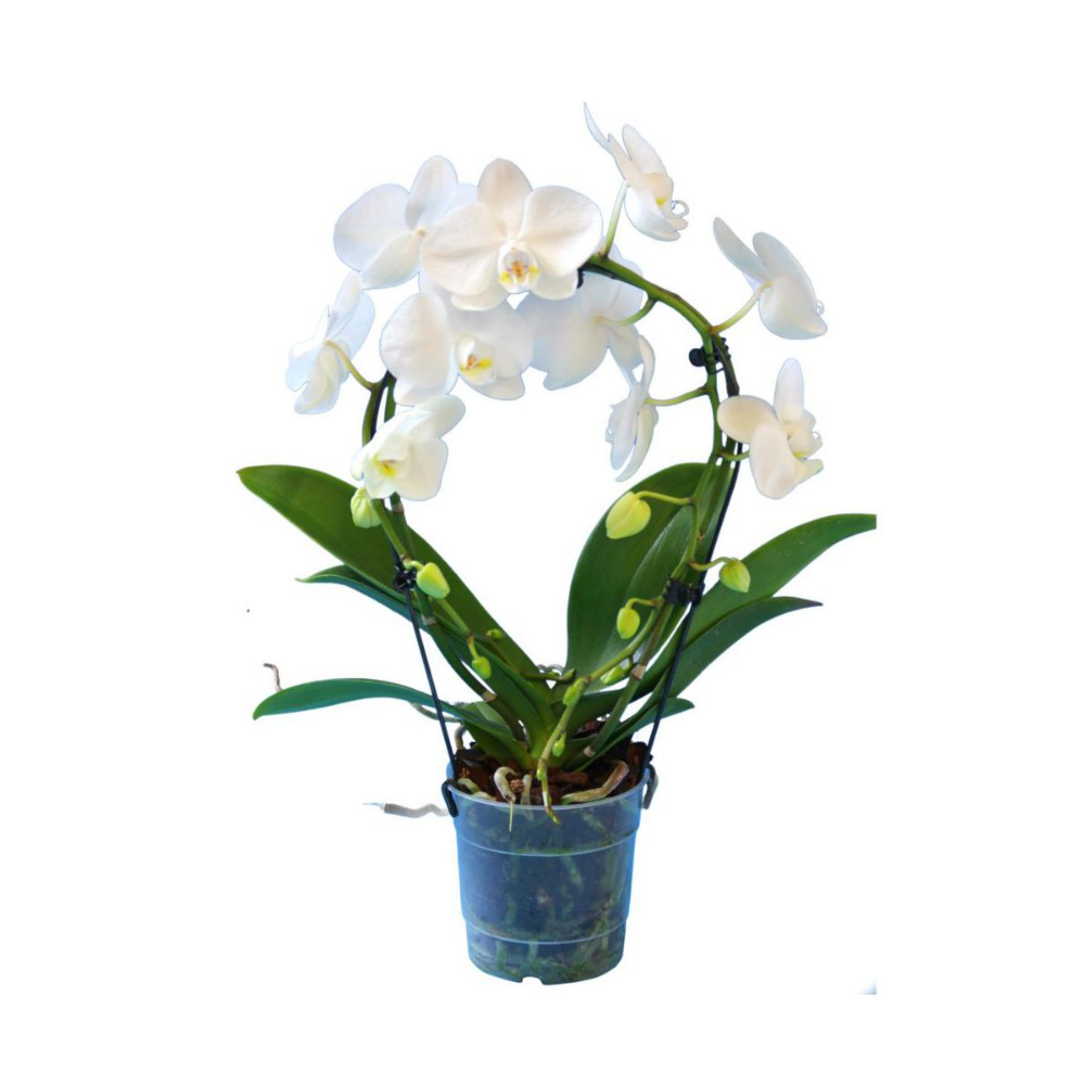 Storczyk Falenopsis Kolo 2 Pedy Mix 55 Cm Kwiaty Doniczkowe W Atrakcyjnej Cenie W Sklepach Leroy Merlin Plants