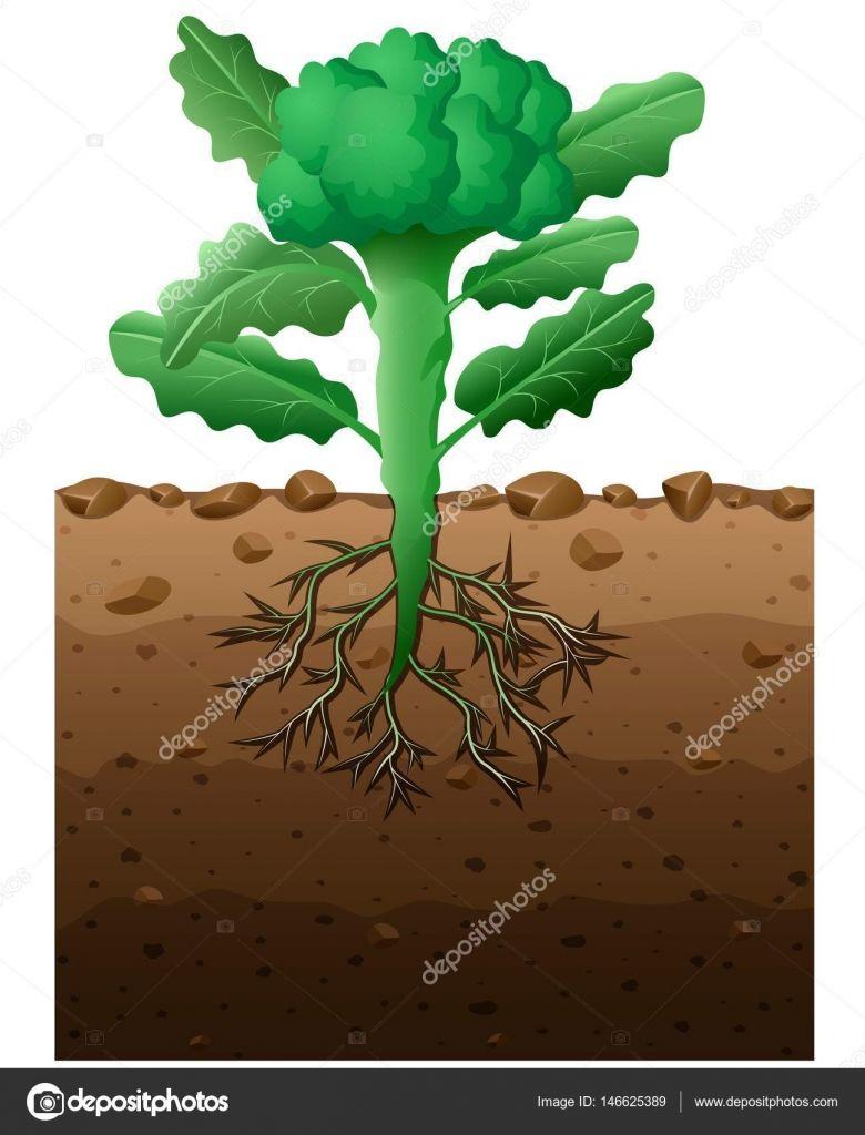 resultado de imagem para planta brocolis desenho picky farmer