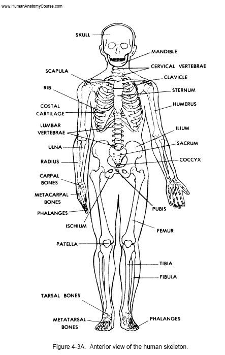 1 human anatomy and physiology course | learn about the human body, Skeleton