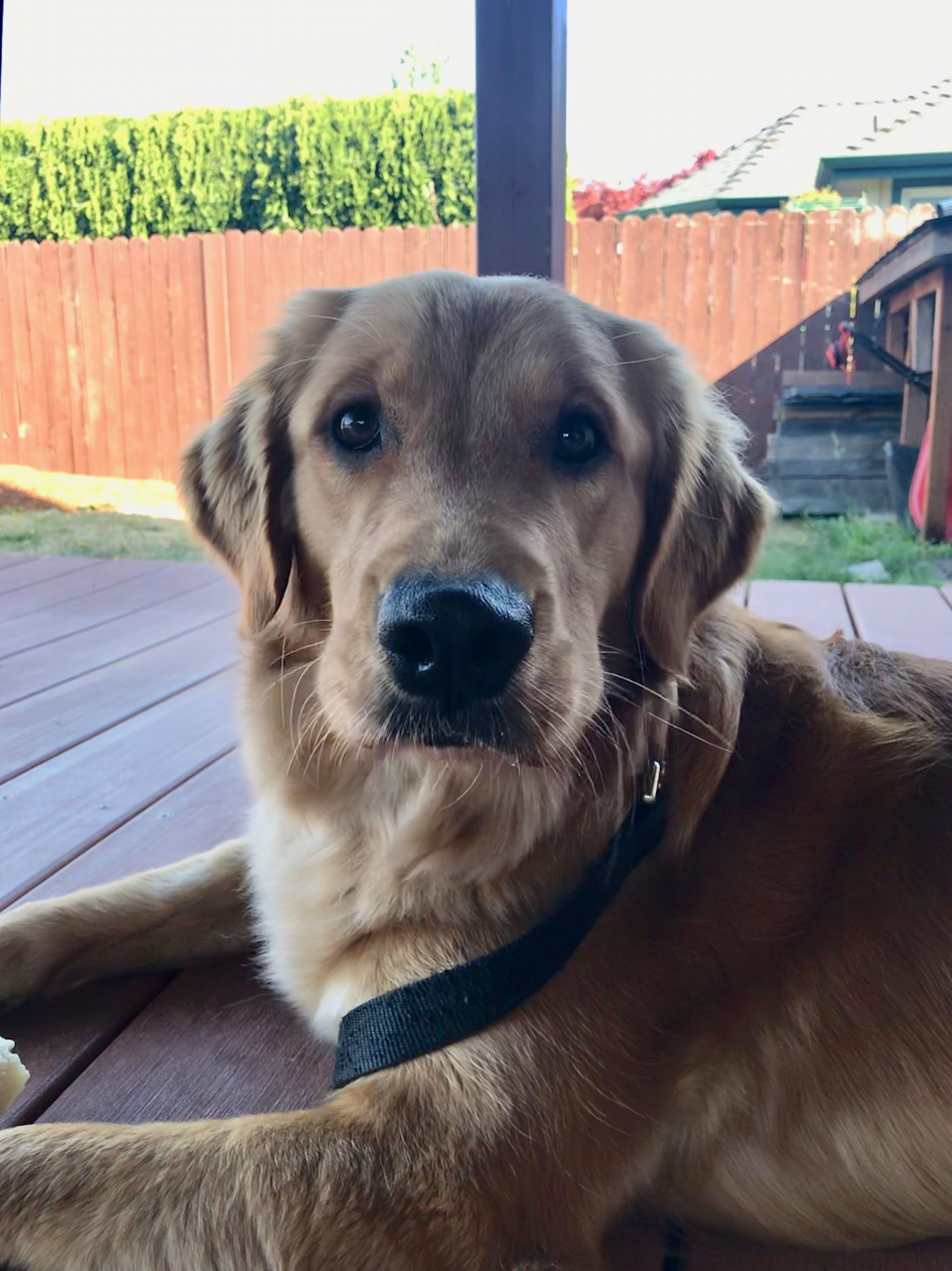 Glam 18 month old golden retriever and gdb puppy in