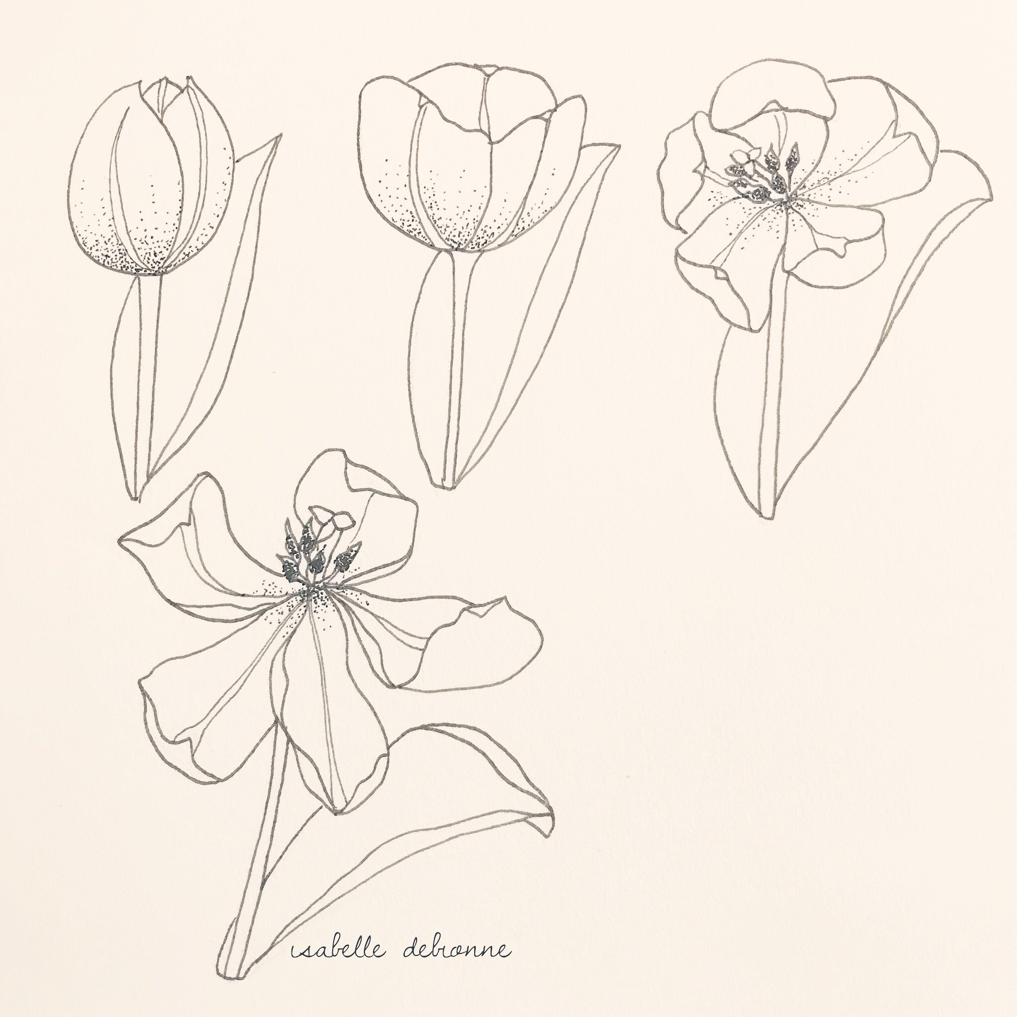 Blooming Stages Of A Tulip Flower Line Drawings Flower Sketches Flower Drawing