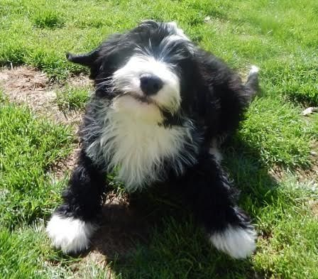 Ozzy 15 Week Old Male Bearded Collie Cross Terrier Available For