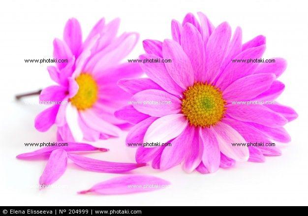 Flores de color rosa,  fondo blanco.