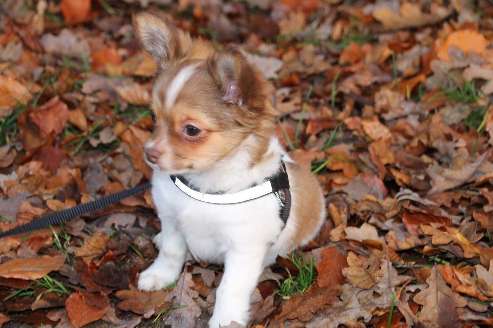 Chihuahua Rude Langhaar Mit Papieren Lingen Goldig Chihuahua Puppies Black And Tan