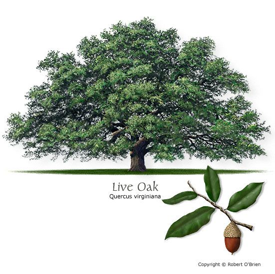 Southern Live Oak (Escarpment Live Oak), matches other ...