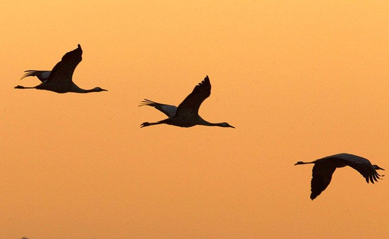 Migrating cranes fly over the Hula Lake Park in northern Israel