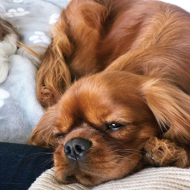Pin by Brenda Schiesser on Cavalier King Charles Spaniel